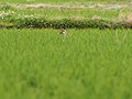 Eastern Spot Billed Duck カルガモ (216442323).jpeg