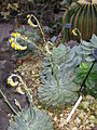 Echeveria pulidonis1.jpg