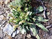 Echium flavum habit 25July2009 SierraNevada