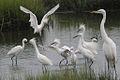 Egrets (6893887819).jpg