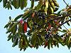 Elaeocarpus angustifolius 1