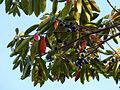 Elaeocarpus angustifolius 1.jpg