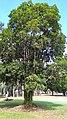 Elaeocarpus bancroftii.jpg