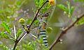 Elegant Grasshopper (Zonocerus elegans) (6022139162).jpg