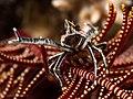 Elegant Squat Lobster (13532821034).jpg