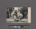 Elephant at work, Ceylon (NYPL Hades-2359914-4044679).tiff
