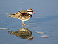 Elseyornis melanops - Black-fronted dotterel Cairns.jpg
