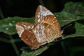 Elymnias caudata-Kadavoor-2017-05-14-001.jpg