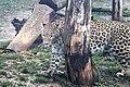 Em - Panthera pardus - 5.jpg