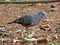 Emerald-spotted Wood Dove RWD.jpg