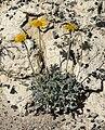 Enceliopsis nudicaulis var corrugata 7.jpg