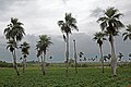 "Endemické ""břichaté"" palmy - panoramio.jpg"