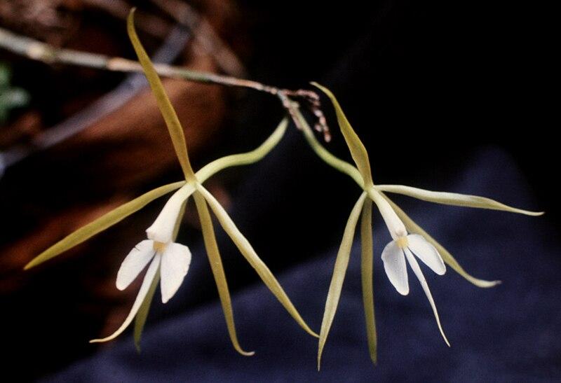 File:Epidendrum nocturnum - 2 fl.jpg