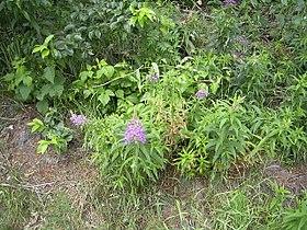 EpilobiumAngustifolium-overz-kl.jpg