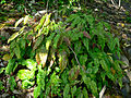 Epimedium pubescens 1.jpg