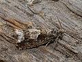 Epinotia sp. (26543063167).jpg