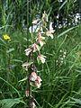 Epipactis palustris IMG 5264.JPG
