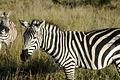 Equus quagga in Kenya.jpg