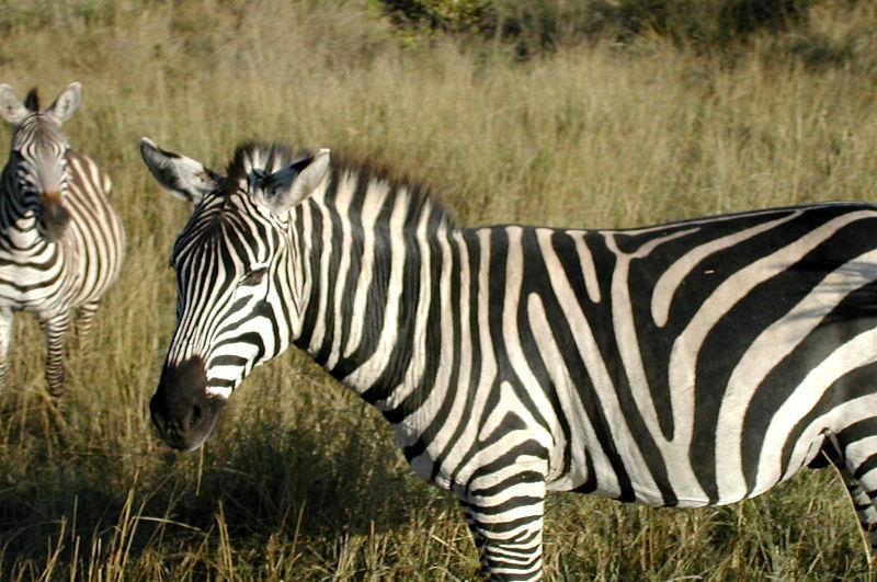 File:Equus quagga in Kenya.jpg