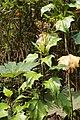 Erato polymnioides (Asteraceae) (30361407222).jpg