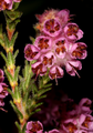 Erica plumosa 5Dsr 0366.png