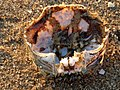 Eriocheir sinensis 125052263.jpg