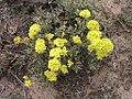 Eriogonum douglasii plant-6-03-04.jpg