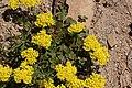 Eriogonum umbellatum 3352.JPG