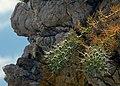 Eryngium on Rhodes island.jpg