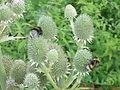 Eryngium yuccifolium0.jpg