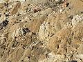 Escobaria albicolumnaria? (5730711190).jpg