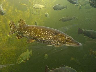 Northern pike - Northern pike in public aquarium in Kotka, Finland