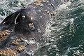 Espiráculos de ballena gris - panoramio.jpg