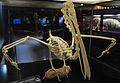 Esqueleto de un Pelícano exhibido en el museo del mar Cumaná Sucre.jpg