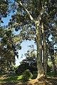 Eucalyptus Gigaro France.jpg