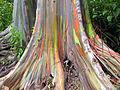 Eucalyptus deglupta-base huge size.jpg