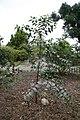 Eucalyptus deglupta 19zz.jpg