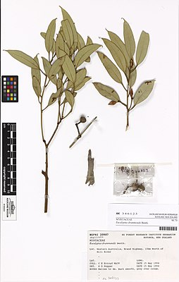 Eucalyptus drummondii Benth. (AM AK346123).jpg