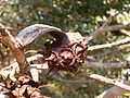 Eucalyptus lehmannii (fruits).JPG
