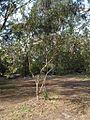 Eucalyptus platypus.jpg