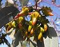 Eucalyptustorquata.jpg