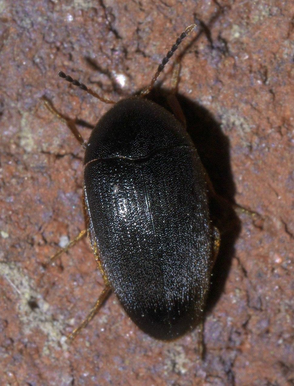 Eucinetus morio P1630431a