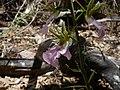 Eulophia guineensis 0006.jpg