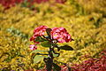 Euphorbia256867.JPG