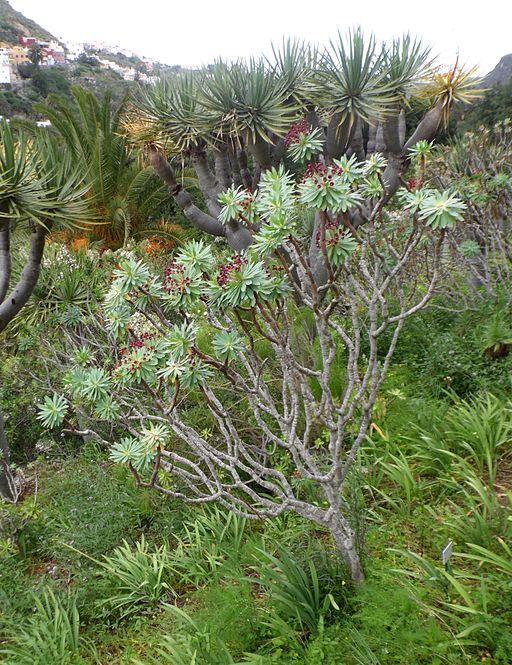 Euphorbia atropurpurea kz1