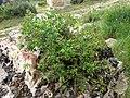 Euphorbia flavicoma (8759485058).jpg
