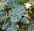Euphorbia myrsinites Parc floral 2.JPG