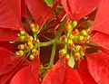 Euphorbia pulcherrima flower.JPG