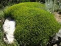 Euphorbia spinosa 1 (Corse).JPG