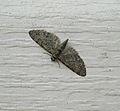 Eupithecia jejunata (moth) (5550045479).jpg